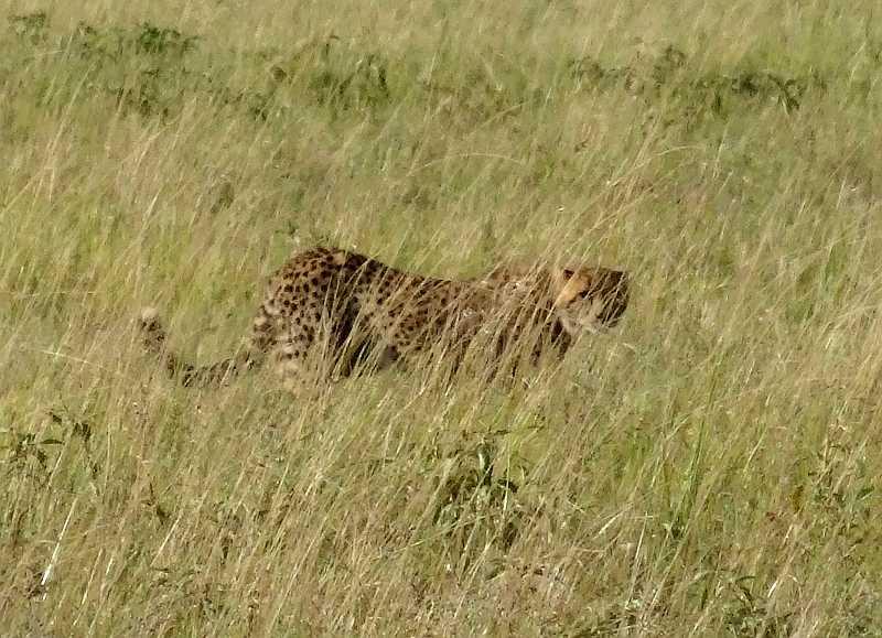 MBA Cheetah