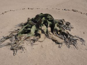 Welwitschia. Liegt Jahrhunderte so rum...